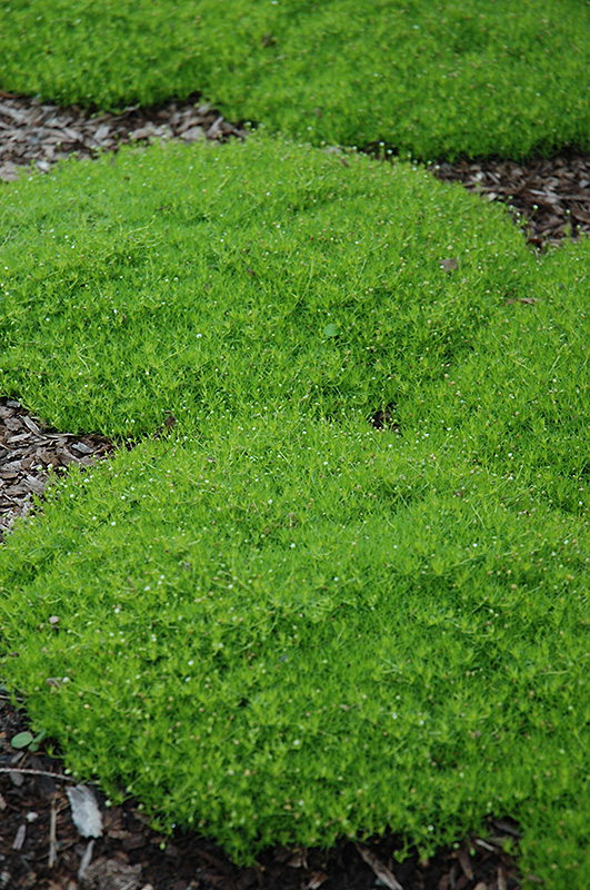 Landscaping With Irish Moss : Irish moss sagina subulata in brainerd baxter little