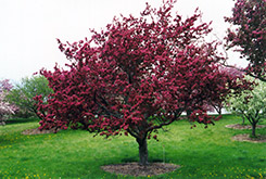 Profusion Flowering Crab (Malus 'Profusion') at Landsburg Landscape Nursery