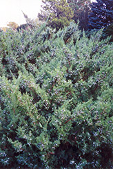 Maney Juniper (Juniperus chinensis 'Maney') at Landsburg Landscape Nursery