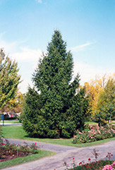 Norway Spruce (Picea abies) at Landsburg Landscape Nursery