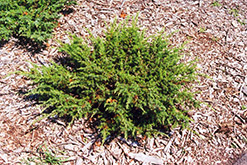 Blueberry Delight Juniper (Juniperus communis 'AmiDak') at Landsburg Landscape Nursery