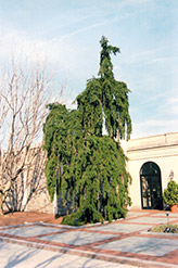 Weeping Norway Spruce (Picea abies 'Pendula') at Landsburg Landscape Nursery