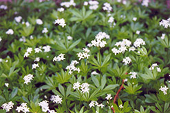 Sweet Woodruff (Galium odoratum) at Landsburg Landscape Nursery