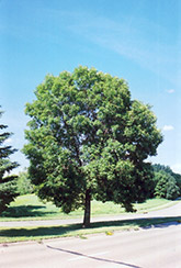 Green Ash (Fraxinus pennsylvanica) at Landsburg Landscape Nursery