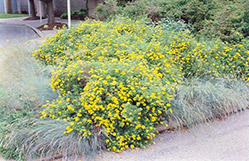 Goldfinger Potentilla (Potentilla fruticosa 'Goldfinger') at Landsburg Landscape Nursery