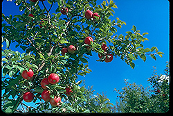 Honeycrisp Apple (Malus 'Honeycrisp') at Landsburg Landscape Nursery
