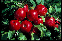 Haralson Apple (Malus 'Haralson') at Landsburg Landscape Nursery