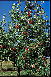 Zestar Apple (Malus 'Zestar') at Landsburg Landscape Nursery