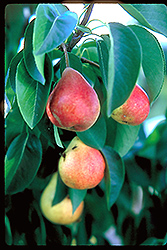 Summercrisp Pear (Pyrus 'Summercrisp') at Landsburg Landscape Nursery