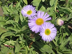 Sea Breeze Fleabane (Erigeron speciosus 'Sea Breeze') at Landsburg Landscape Nursery