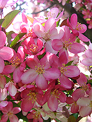 Camelot Flowering Crab (Malus 'Camelot') at Landsburg Landscape Nursery