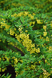Emerald Carousel Barberry (Berberis 'Tara') at Landsburg Landscape Nursery