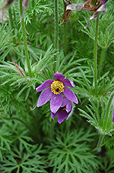 Pasqueflower (Pulsatilla vulgaris) at Landsburg Landscape Nursery