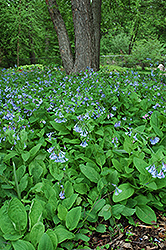 Virginia Bluebells (Mertensia virginica) at Landsburg Landscape Nursery