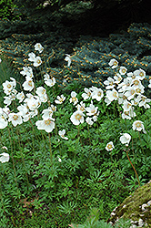 Windflower (Anemone sylvestris) at Landsburg Landscape Nursery