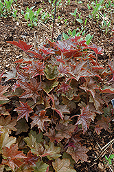 Palace Purple Coral Bells (Heuchera micrantha 'Palace Purple') at Landsburg Landscape Nursery