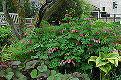 Common Bleeding Heart (Dicentra spectabilis) at Landsburg Landscape Nursery
