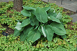 Blue Angel Hosta (Hosta 'Blue Angel') at Landsburg Landscape Nursery
