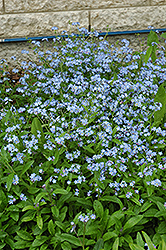 Forget-Me-Not (Myosotis sylvatica) at Landsburg Landscape Nursery