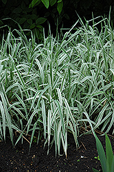 Variegated Ribbon Grass (Phalaris arundinacea 'Picta') at Landsburg Landscape Nursery