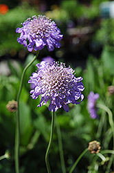 Butterfly Blue Pincushion Flower (Scabiosa 'Butterfly Blue') at Landsburg Landscape Nursery