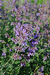 Walker's Low Catmint (Nepeta x faassenii 'Walker's Low') at Landsburg Landscape Nursery