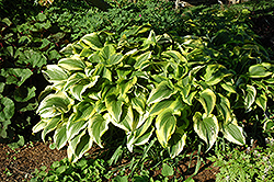 Gold-Variegated Mountain Hosta (Hosta montana 'Aureomarginata') at Landsburg Landscape Nursery
