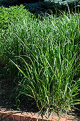 Switch Grass (Panicum virgatum) at Landsburg Landscape Nursery