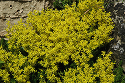 Golden Moss Stonecrop (Sedum acre) at Landsburg Landscape Nursery
