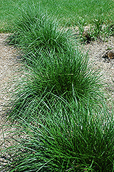 Tufted Hair Grass (Deschampsia cespitosa) at Landsburg Landscape Nursery