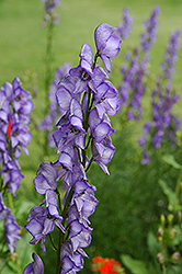 Common Monkshood (Aconitum napellus) at Landsburg Landscape Nursery