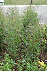 Shenandoah Reed Switch Grass (Panicum virgatum 'Shenandoah') at Landsburg Landscape Nursery