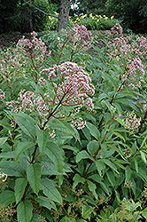 Gateway Joe Pye Weed (Eupatorium maculatum 'Gateway') at Landsburg Landscape Nursery