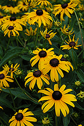 Indian Summer Coneflower (Rudbeckia hirta 'Indian Summer') at Landsburg Landscape Nursery