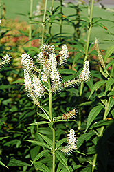 Culver's Root (Veronicastrum virginicum) at Landsburg Landscape Nursery