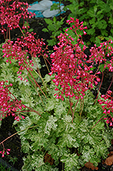 Snow Angel Coral Bells (Heuchera sanguinea 'Snow Angel') at Landsburg Landscape Nursery