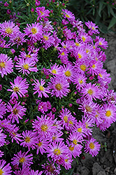 Purple Beauty Aster (Aster 'Purple Beauty') at Landsburg Landscape Nursery