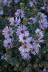 Woods Blue Aster (Aster 'Woods Blue') at Landsburg Landscape Nursery