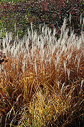 Flame Grass (Miscanthus sinensis 'Purpurascens') at Landsburg Landscape Nursery