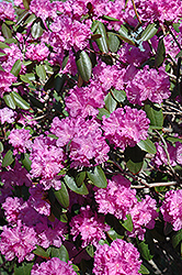 P.J.M. Rhododendron (Rhododendron 'P.J.M.') at Landsburg Landscape Nursery