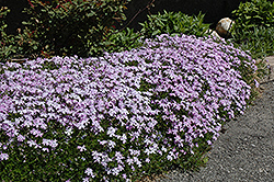 Emerald Blue Moss Phlox (Phlox subulata 'Emerald Blue') at Landsburg Landscape Nursery