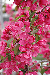Radiant Flowering Crab (Malus 'Radiant') at Landsburg Landscape Nursery