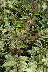 Japanese Painted Fern (Athyrium nipponicum 'Metallicum') at Landsburg Landscape Nursery
