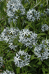 Blue Star Flower (Amsonia tabernaemontana) at Landsburg Landscape Nursery