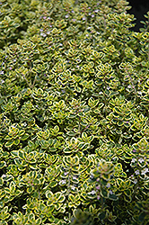 Lemon Thyme (Thymus x citriodorus) at Landsburg Landscape Nursery