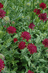 Crimson Scabious (Knautia macedonica) at Landsburg Landscape Nursery