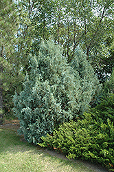 Wichita Blue Juniper (Juniperus scopulorum 'Wichita Blue') at Landsburg Landscape Nursery