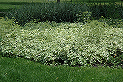 Variegated Bishop's Goutweed (Aegopodium podagraria 'Variegata') at Landsburg Landscape Nursery