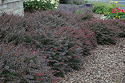 Crimson Pygmy Japanese Barberry (Berberis thunbergii 'Crimson Pygmy') at Landsburg Landscape Nursery