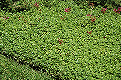 John Creech Stonecrop (Sedum spurium 'John Creech') at Landsburg Landscape Nursery